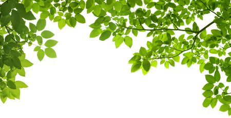 organic background: panoramic Green leaves on white background