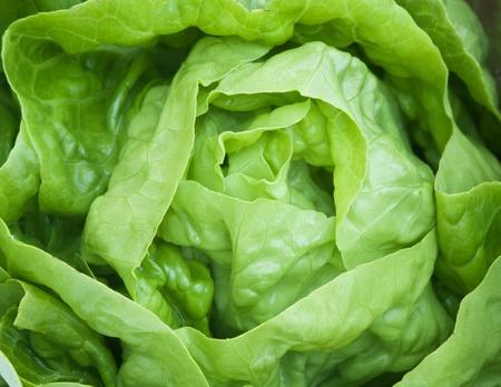 vibrat color: Close up of Fresh green Lettuce salad