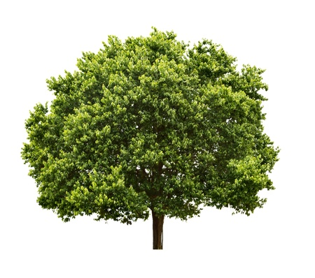 walnut tree: Big Tree isolated on white background