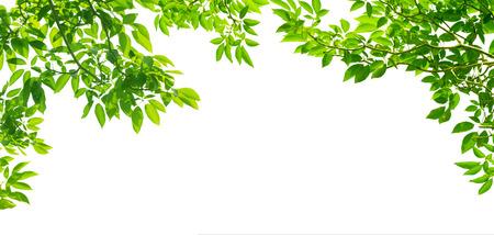 白い背景の上のパノラマの緑を葉します。