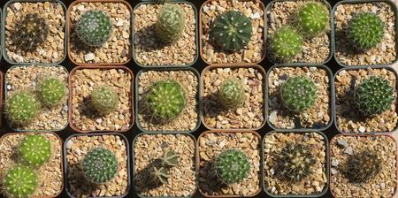 Pattern of cactus in top view Stok Fotoğraf