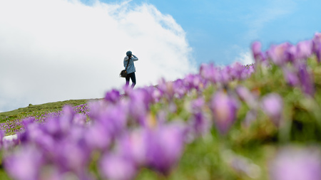 Woman is taking pictures of beautiful blooming of saffron crocus flower at Velika planina in the heart of the Kamnik Alps Standard-Bild