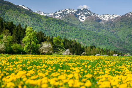 Beautiful summer time in Slovenia on the way to lake bohinj. Greenery grass fild with yellow wild flower and mountain in the background.