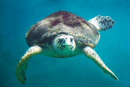 artistic style portrait of endangered sea turtle photo