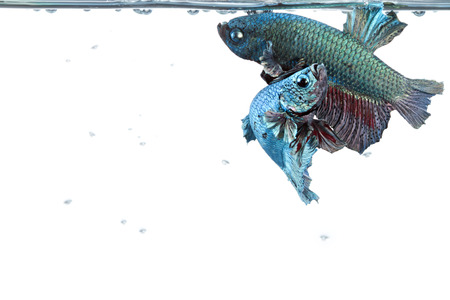 tropical fresh water fish: artistic pair of betta fighting fish with water surface border and space below