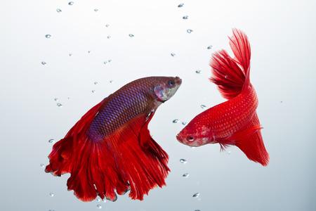 tropical fresh water fish: red betta fighting fish Stock Photo