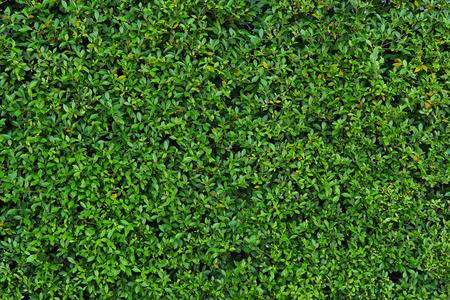 groene bladeren of bush achtergrond