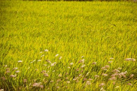 natue: grass flower