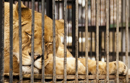 behind bars: The sleeping lioness behind bars in a zoo cage Stock Photo