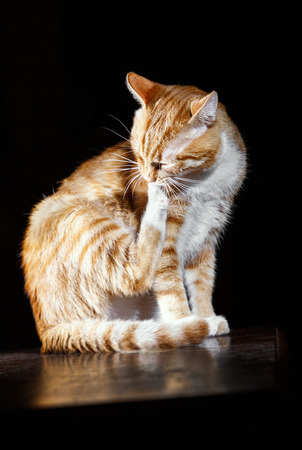 laughable: ginger cat washes on a black background, striped red  tomcat