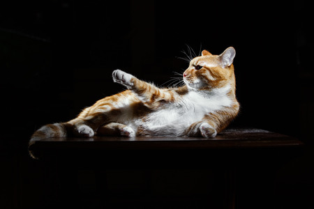 imperious: Long-Haired Orange ginger Cat Lying Down on black background,  Isolated, imperious gesture Stock Photo