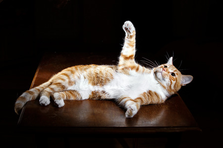 imperious: Long-Haired Orange ginger Cat Lying Down on Isolated black background, Stock Photo