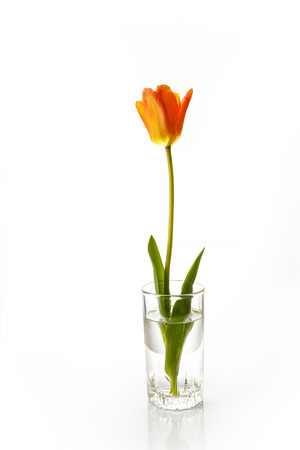 tulips isolated on white background: Tulip. Beautiful bouquet of tulips in water isolated on white background. Colorful orange spring tulips.
