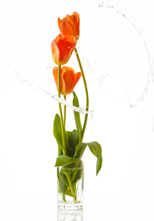 tulips isolated on white background: Tulip. Beautiful bouquet of tulips in water isolated on white background. Colorful orange spring tulips. With liquit splashes.