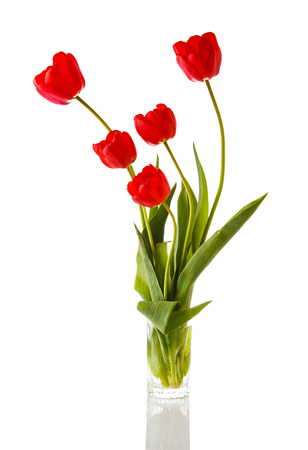 tulips isolated on white background: Tulip. Beautiful bouquet of tulips in water isolated on white background. Colorful red spring tulips.