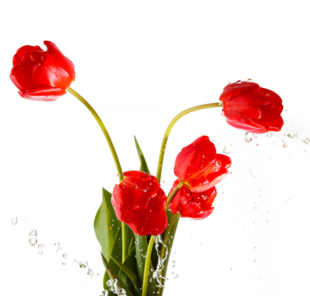 tulips isolated on white background: Tulip. Beautiful bouquet of tulips in water isolated on white background. Colorful red spring tulips. With liquit splashes. Stock Photo