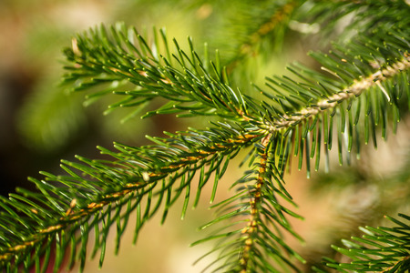 Green needles on tree.