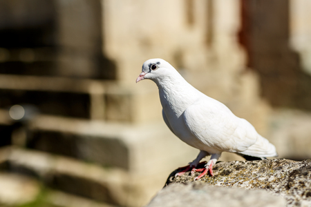 White dove on stone at outdoors, summer time Stock Photo