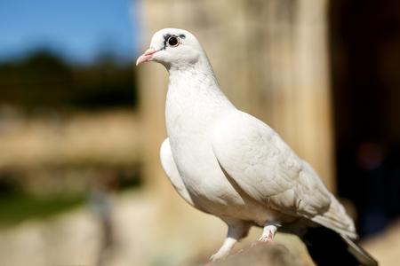 White dove on stone at outdoors Stock Photo
