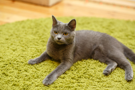 Gray serious cat lies on a green carpet at home. Domestic angry cat