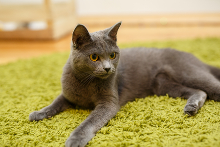 The gray cat relaxing on green carpet at home