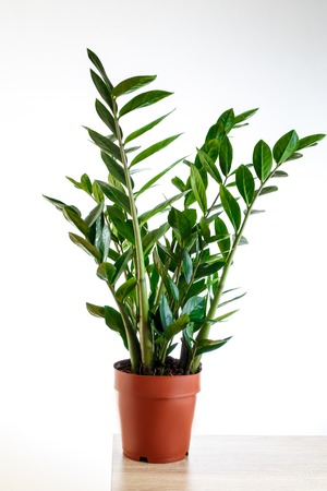 Plant in the pot, Green leaves of Zamioculcas on white background