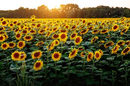 Sunflowers wallpaper. Floral background, natural texture