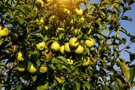 Manzanas verdes en una rama en el jardín listo para ser cosechado Foto de archivo
