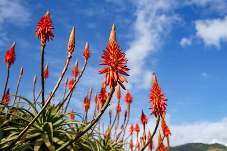 Blooming aloe flowers with blue sky background 版權商用圖片 - 130353059