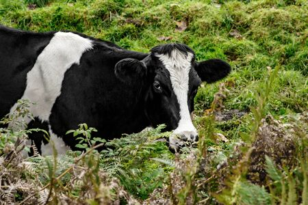 Portrait of cow stands in her pasture Stock Photo