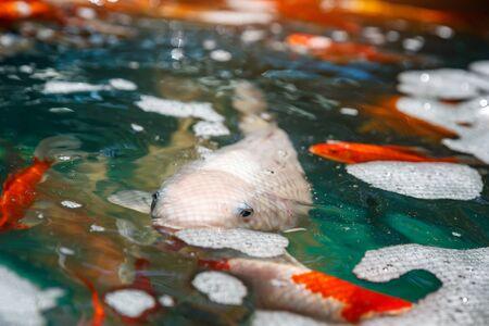 Goldfish swimming in the water. Colorful orange fish beautiful on plastic pond Banco de Imagens