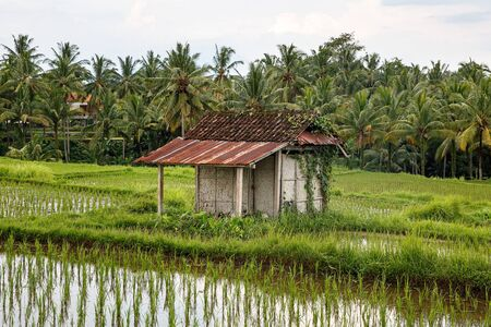 Asian farm. House with rice fields and palm jungle on background