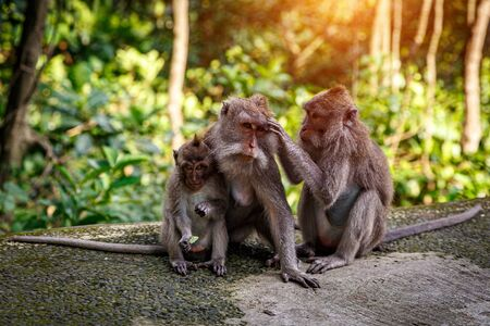 Family portrait of monkeys. Father, mother and young monkey.