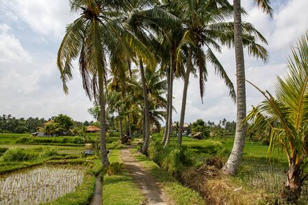Path between palm trees and rice fields