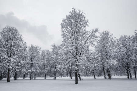 Trees in the snow, winter background