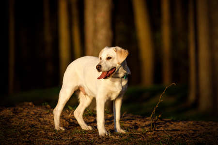 Labrador in a sunset forest