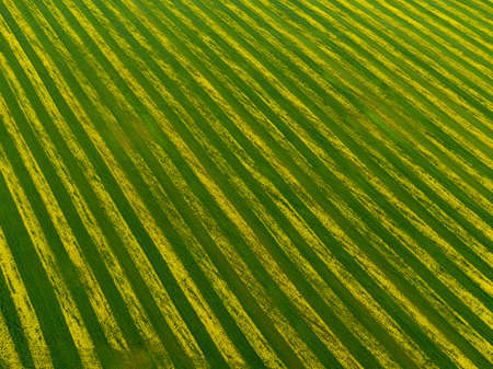 Top view of striped rapeseed field.
