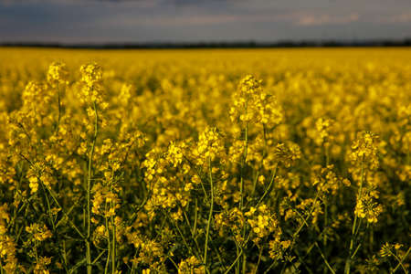 Blooming rapeseed flower against cloudy sky. Stock Photo