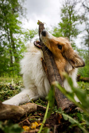 The dog is playing with a stick in forest.