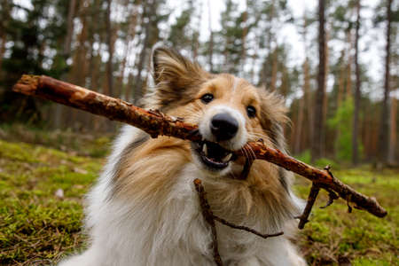 The dog gnaws the stick in a forest meadow.