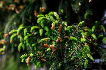 Young Christmas tree in spring with green needles and fresh cones.