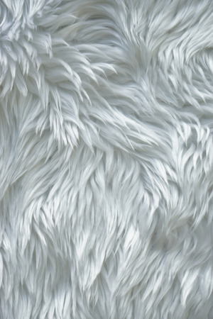 white fur: Close up white fur texture