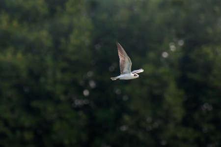 oiseau mouche: mouche oiseau sur fond drakgreen