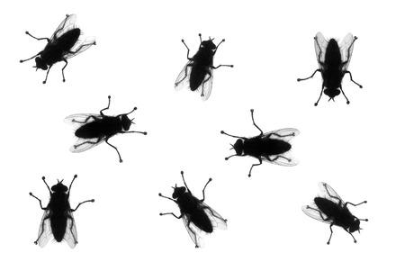 mosca: Moscas domésticas comunes en varias posiciones, silueta, aislado en blanco
