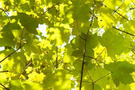 sicomoro: Acero montano lascia chiudere in primavera dappled luce del sole