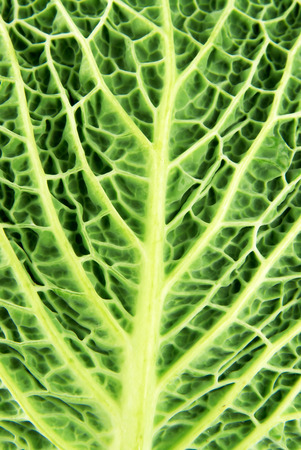 savoy cabbage: Macro closeup of the back of savoy cabbage leaf