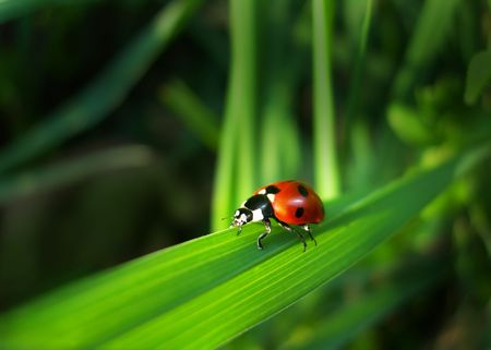Red Ladybird (insect Cocinella septempunctata) on a grass