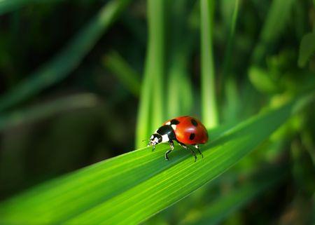 septempunctata: Red Ladybird (insect Cocinella septempunctata) on a grass