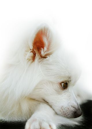 Japanese Spitz. Cute white pet dog with sad, thoughtful look.