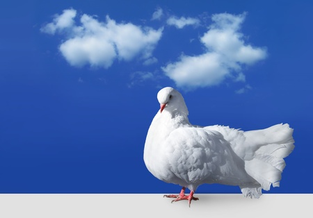 white dove: White dove staying on flat surface against sky with clouds Stock Photo